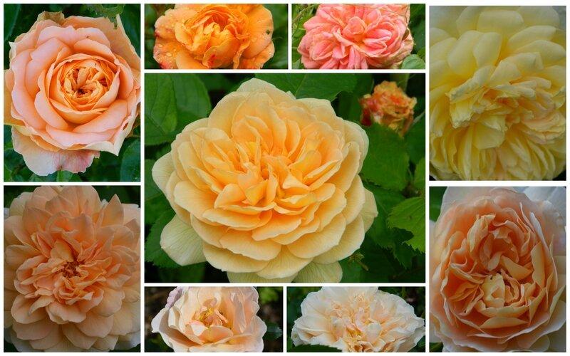rosesambrées