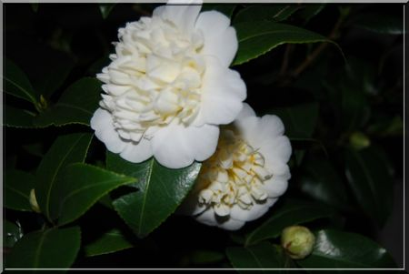 camelia 015b