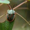 Cyclosoma paliata - casside