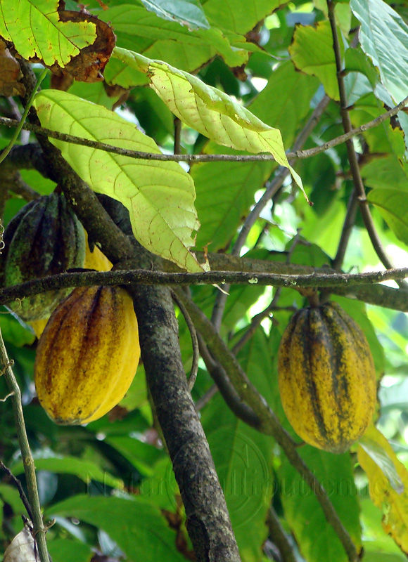 Image-Nature-Fruit exotique-Cabosse-Theobroma cacao-Martinique 2
