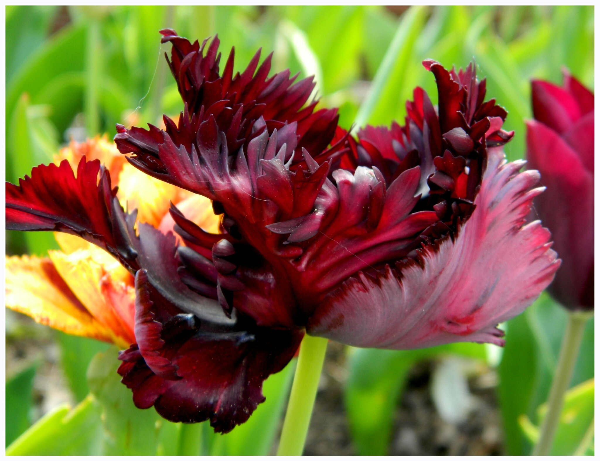 Tulipes 2 le jardin par passion for Bouquet de tulipes