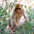 Macaque Magot d'Ouzoud