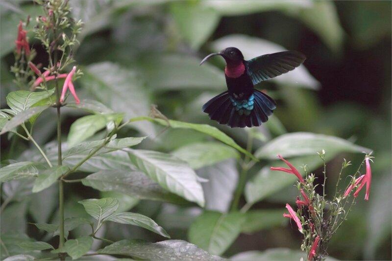 Martinique J8 7D canal Esclaves colibri 111217 46 oiseau colibri tache rouge