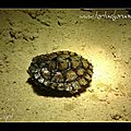 Graptemys oculifera