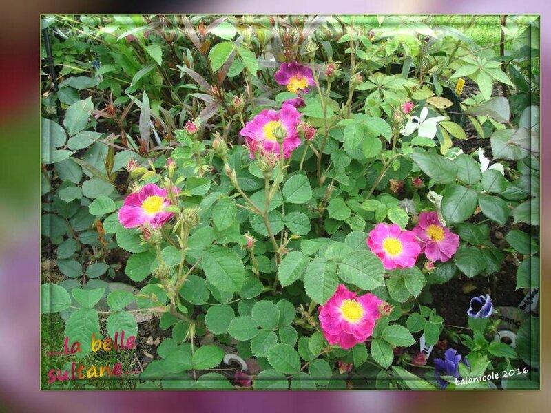 balanicole_2016_11_les nouveaux rosiers de balanicole_L comme belle sultane_09