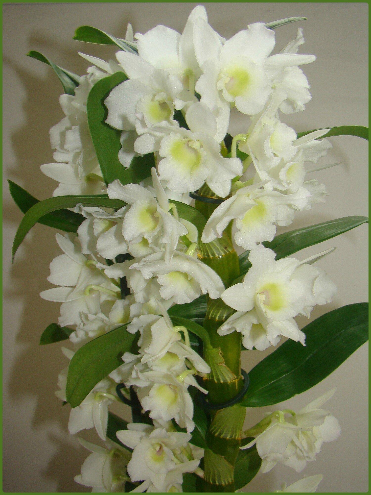orchid e dendrobium nobile miss gleni and co. Black Bedroom Furniture Sets. Home Design Ideas