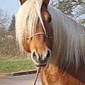 Aout 2014- calendrier des concours d'élevage et d'utilisation de chevaux de trait en rhône alpes