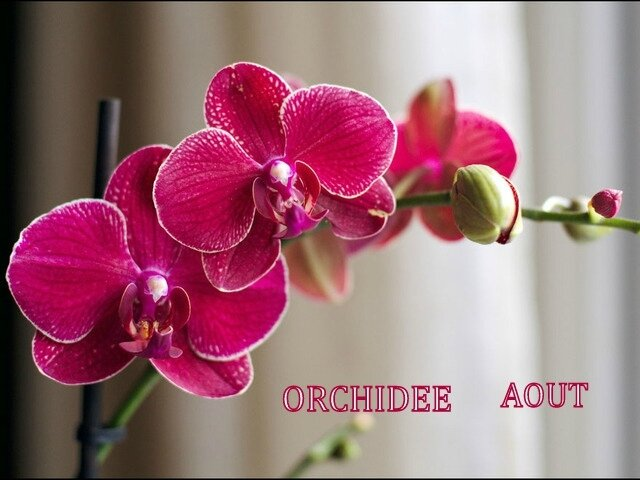 orchidee-phalaenopsis-boutons