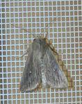 Leucania insulicola 03 (2)