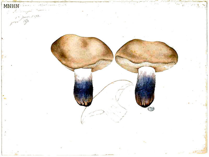 197 Tricholoma amethysticum Quél