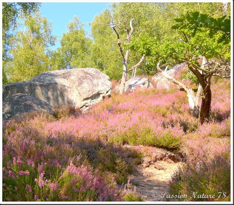 Balade dans la bruyère en forêt de Rambouillet (18)