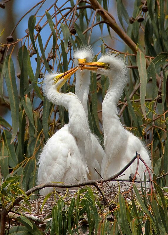 800px-Ardea_alba;_3_chicks,_Morro_Bay_Heron_Rookery_2_-_by_Mike_Baird