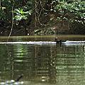 Pteronura brasiliensis - Loutre géante
