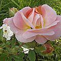 roses-du-soir (2)