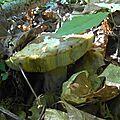 Cèpe d'été adulte et lit de feuilles...