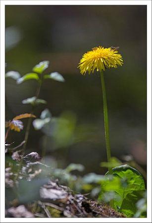 Galuch lulu fleur pissenlit syrphe 070412
