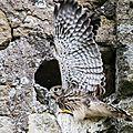 La saga des faucons crecerelles: 4ème épisode - la vie au nid -