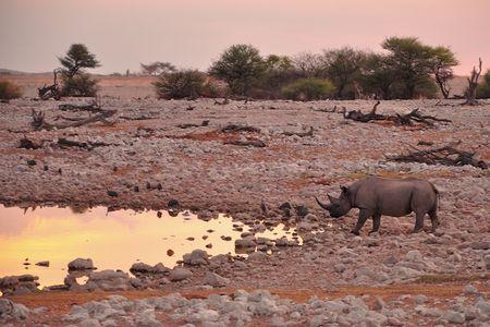 Rhinocéros noir, parc d'Etosha, Namibie