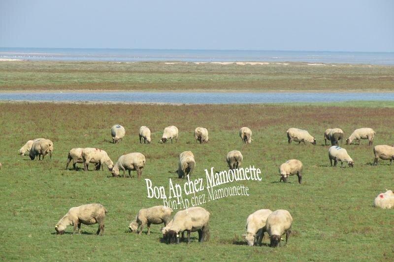 moutons des pré-salés baie Mt St Michel 009