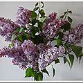 Syringa vulgaris, le lilas commun...