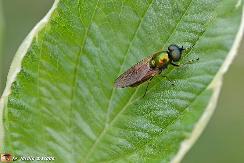 Chloromyia formosa mâle