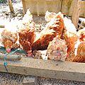 Il est encore temps de sauver quelques poules ....