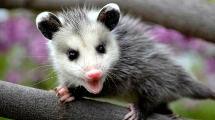 default-1464364145-86-man-talks-to-possum-and-the-possum-talks-back