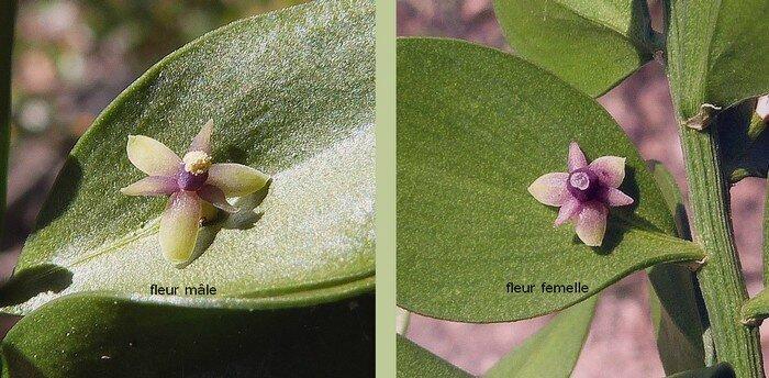 fleur verdâtre violacée unisexuée