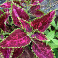 Solenostemon scutellarioides (coleus) - martinique