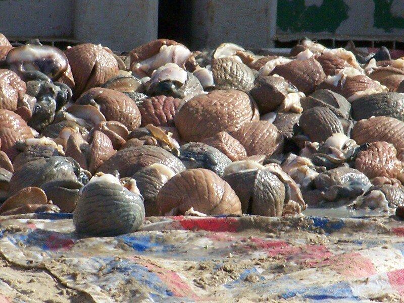 intérieur de coquillages géants