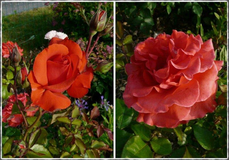 Roses 06