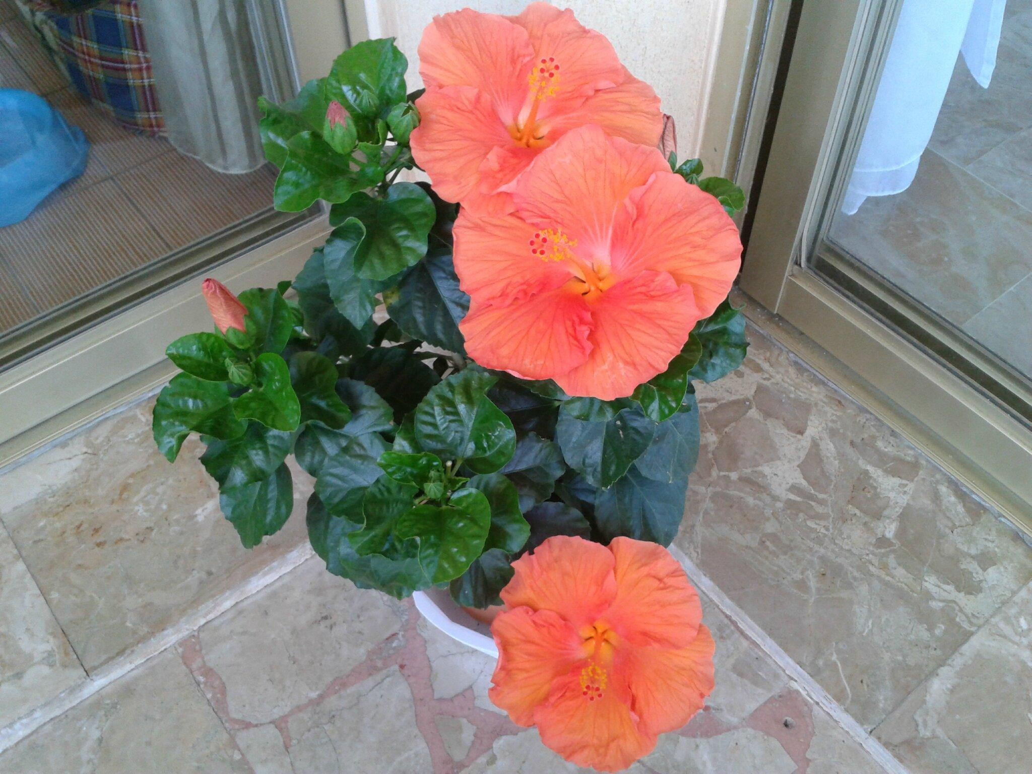 Hibiscus rosa sinensis les cr ations d 39 am lie for Hibiscus exterieur rouge