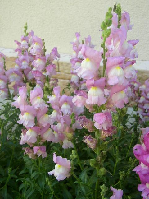 muflier nains rose p le vivace photo de mes autres fleurs fleurs passion. Black Bedroom Furniture Sets. Home Design Ideas