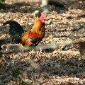 Poulette Colorée
