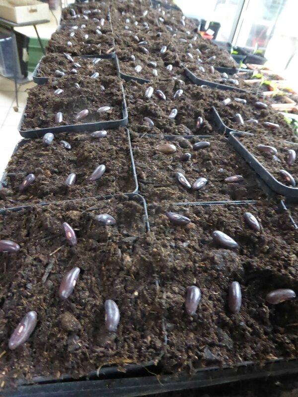23-haricots semis (2)