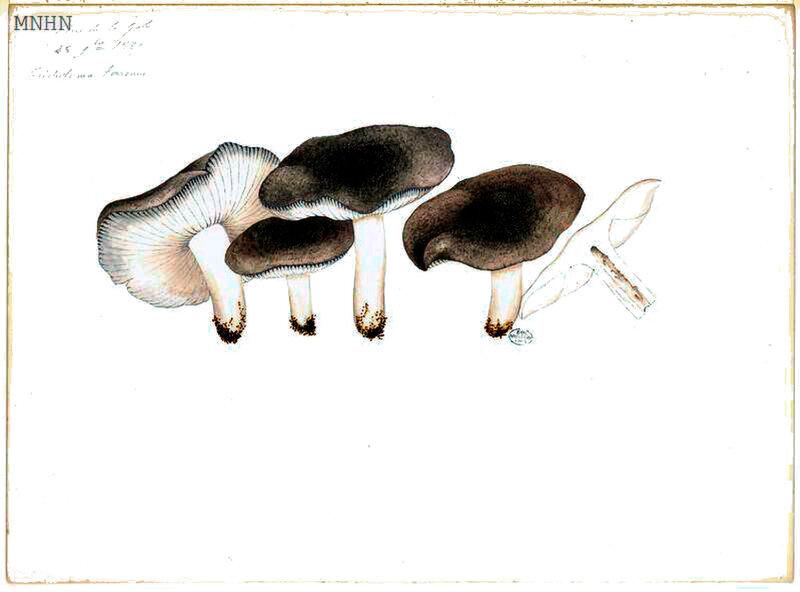 215 Tricholoma terreum b