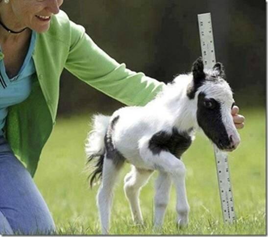 le cheval le plus petit du monde