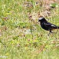 Rougequeue noir, Phoenicurus ochruros