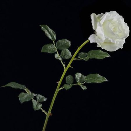 rose_g_ante_blanche