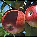 Invisible aux pommes et aux poires