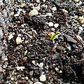 Semis et plantations de fin d'hiver (1/2)