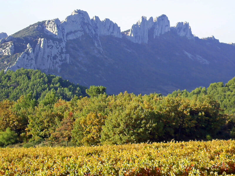 The vines facing the Dentelles de Montmirail