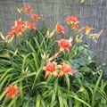 de superbes iris doubles oranges