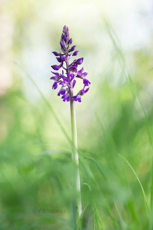 orchidées17-03