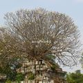 temple phnom bok_frangipanier_02