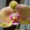 Phalaenopsis jaune nervuré de rose