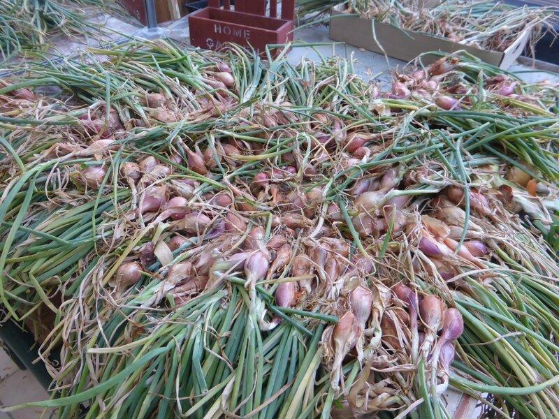 17-oignons- échalottes (8)