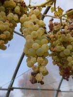 24-raisin (6)