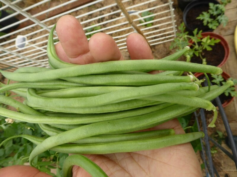 26-1ers haricots verts serre (6)