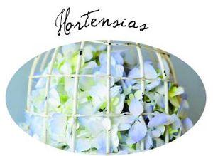 Hortensias bouton